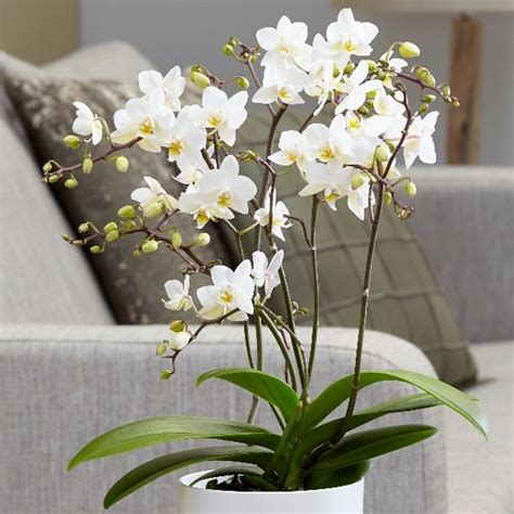 buy moth orchid syn phalaenopsis soft cloud
