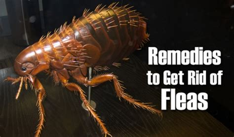 10 home remedies to get rid of flea infestation