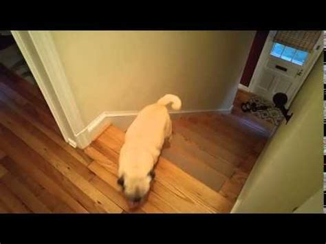 pug stairs one pug hops up stairs other pug barrels up pug