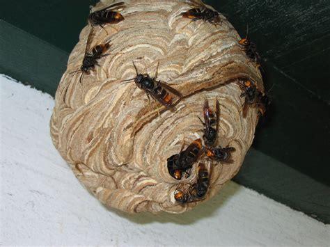 nid de frelons sous les tuiles frelons asiatiques que faire si vous trouvez un nid