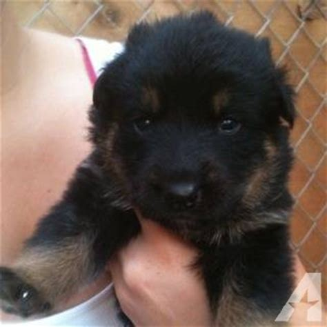 rottweiler shepherd mix puppy german shepherd mix rottweiler dogs breeds picture