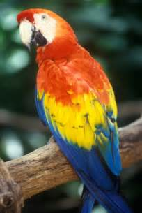 macaw colors top 10 most colorful parrot species scarlet animals and