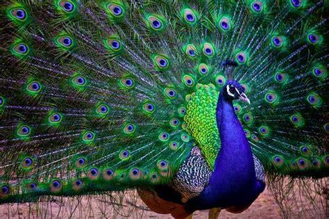 National Bird Of India Essay national bird of india indian peacock an essay