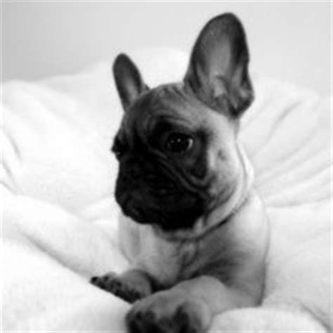 frenchie pug puppies for sale frenchie pug puppies for sale