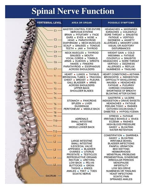 spine c4 c5 diagram spinal cord and nerve function c4 5 6 t12 l3 4 5 and s1