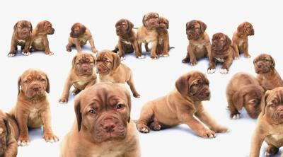pug puppy development stages stages of pregnancies puppy development care daily puppy