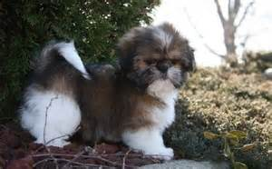 Shih Tzu Rescue Bichon Frise Puppies Rescue Related Keywords Bichon