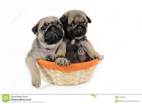 two pug puppies two pug puppies in basket royalty free stock images image 7845899