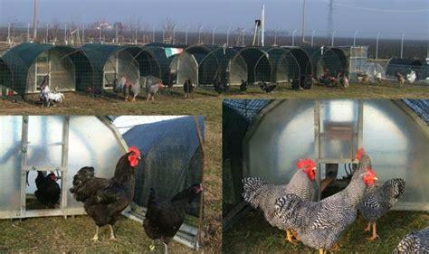 per galline il benessere delle galline idee green