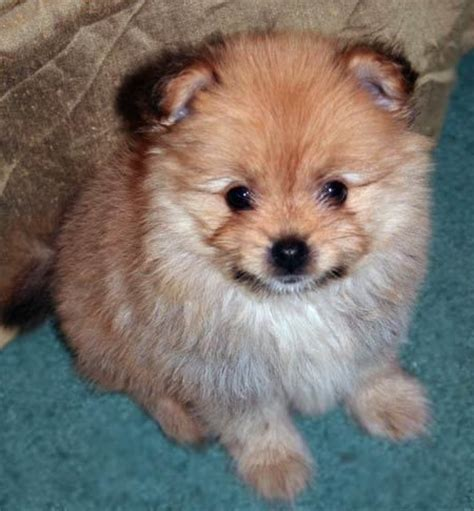 pomeranian mix yoranian yorkie pomeranian mix info and pictures