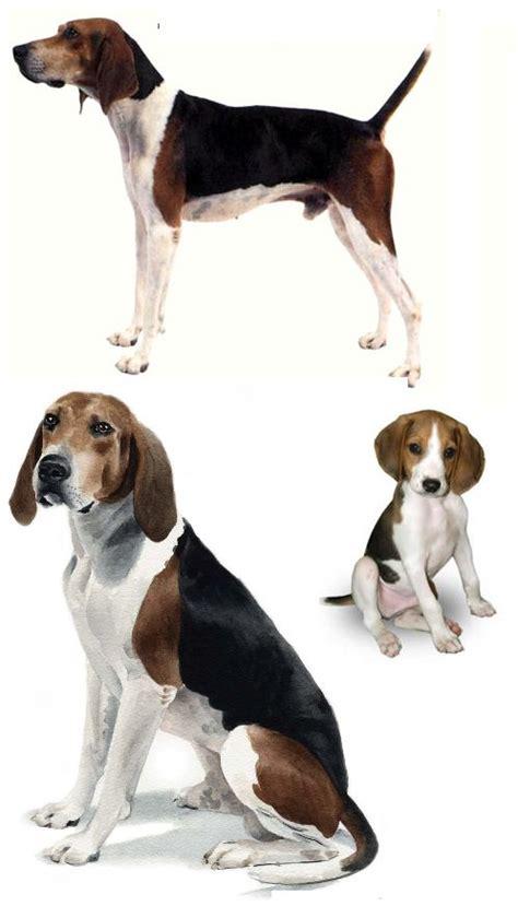 walker puppies 25 best ideas about treeing walker coonhound on walker hound