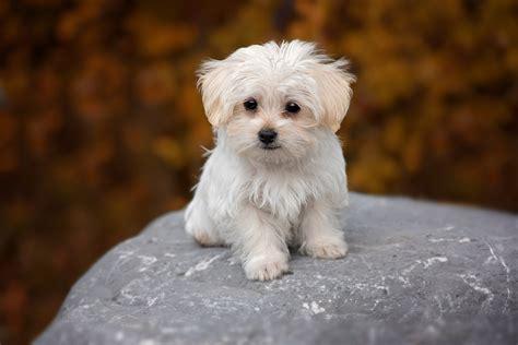 white maltese puppy free photo white maltese puppy free image on pixabay 1037702