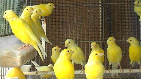 alimentazione canarini gialli canarini giallo intenso e giallo brinato in muta