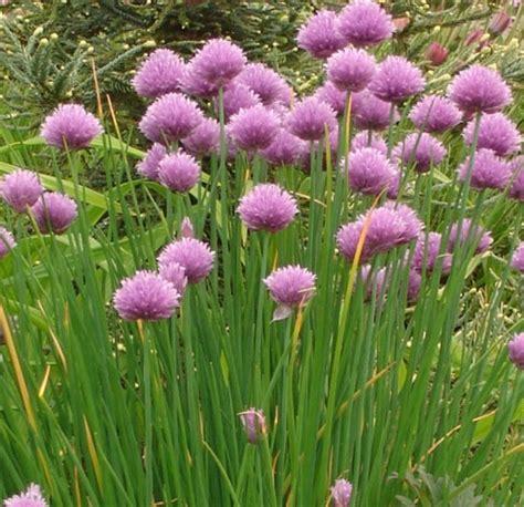 Biji Bunga Allium tanaman chives kucai eropa jual tanaman hias