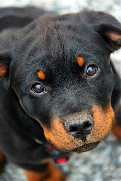 best shoo for rottweiler the 25 best rottweiler puppies ideas on
