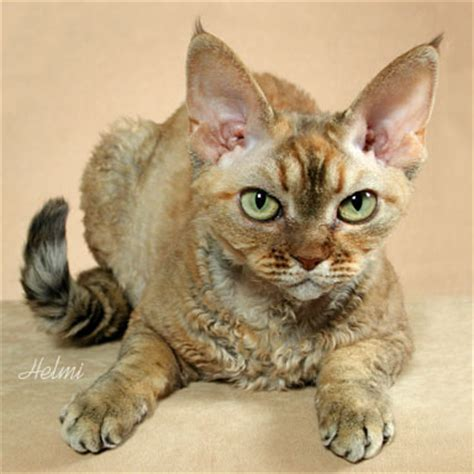 non shedding cat breeds