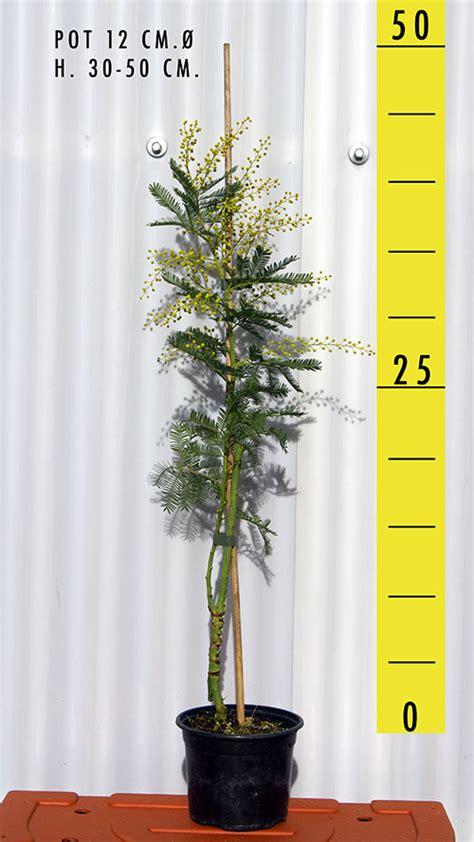 mimosa pianta in vaso vivaio produzione mimose vendita mimose in vaso