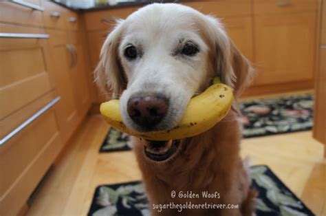 are bananas bad for dogs how to tell if a banana is ripe golden woofs