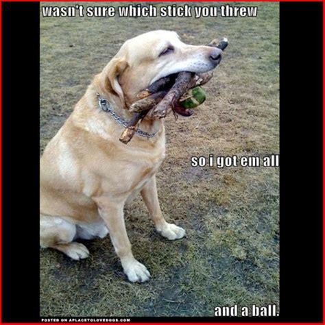 Labrador Meme - labrador memes 2018 truebred labradors