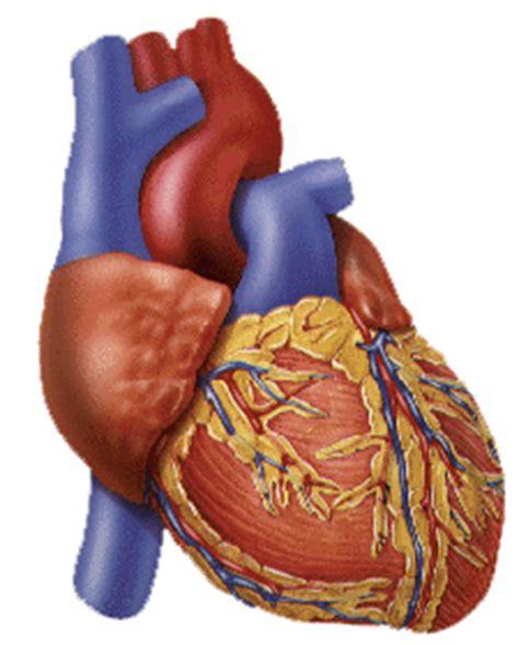 imagenes de corazones organo corazon el corazon y sus partes