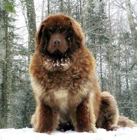 ovcharka puppies 17 best ideas about caucasian shepherd on big breeds big fluffy