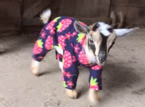 Baby goats in pajamas playing are everything right now video