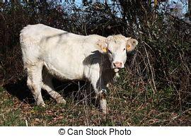 mucca charolaise archivio immagini di bestiame leccata mangiare mucca
