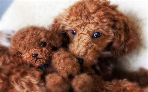 puppy that looks like a teddy 23 puppies mistaken for teddy bears