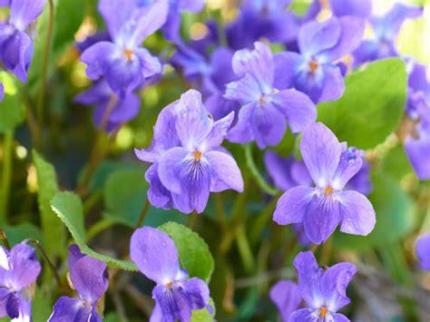 violetta fiore violetta fiore profumato non teme il freddo daveli