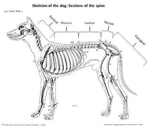 dogs with spine anatomy image organs spine anatomy problems injury cervical canine cat lumbar