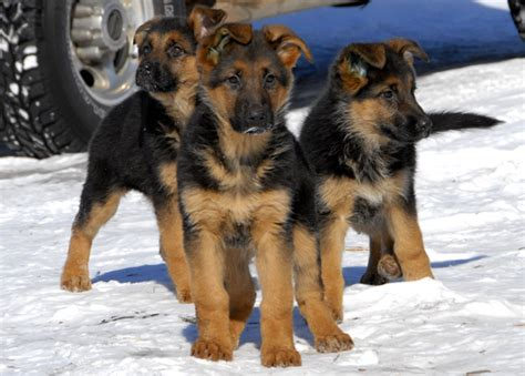 cute puppy dogs german shepherd puppies