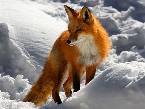 imagenes animales zorro zorro rojo mi animal favorito zoolog 237 a vertebrados