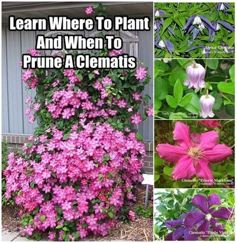 3 easy ways to plant clematis with pictures wikihow learn where to plant and when to prune a clematis diy