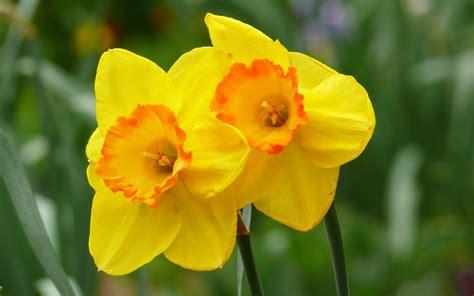 daffodil yellow yellow daffodils hd hd desktop wallpapers 4k hd
