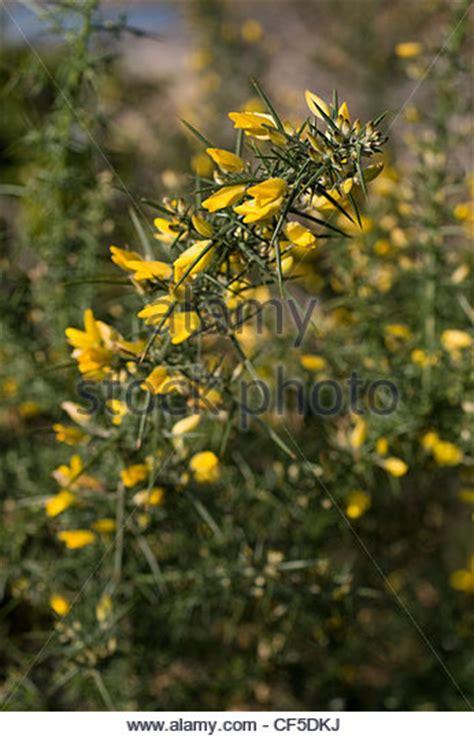 yellow flowered shrub crossword clue spikey green stock photos spikey green stock images alamy