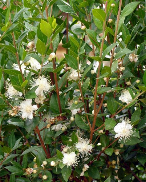 flowering summer shrubs summer flowering shrubs hgtv