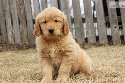 lancaster puppies golden retrievers golden retriever