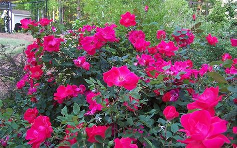 knockout roses colors buy original knock out 1 gallon shrubs for