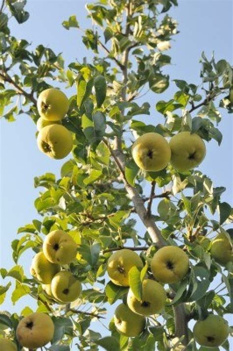 4 in one fruit trees possible fruit tree 1 pear tree fruit