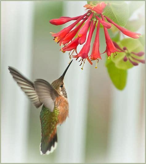 rufous hummingbird honeysuckle studies birds do it