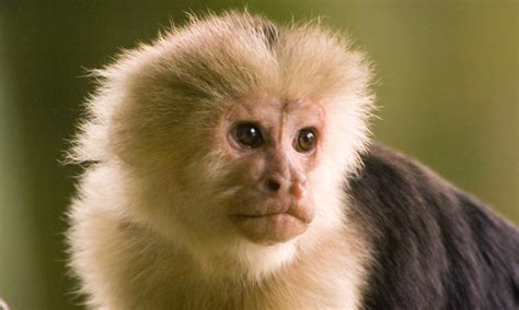 How monkeys can spot a meanie: Capuchins identified ...