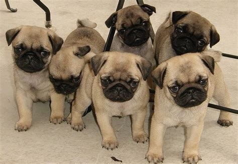 pug army pug army best pins today