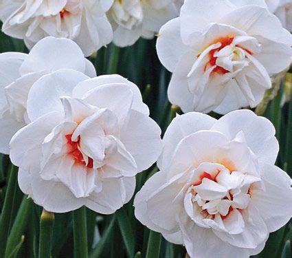 narcissus acropolis white flower farm