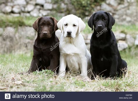 lab colors labrador retriever three puppies different colors