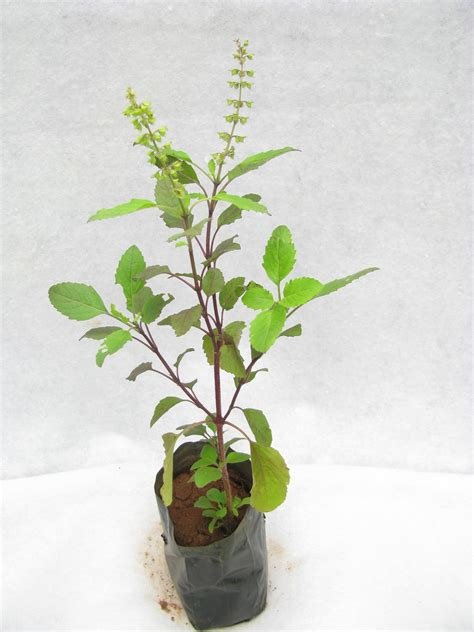 Tulsi Planter by Buy Tulsi Plant At Best Prices In India