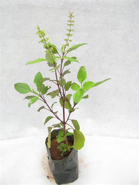 Vertical Garden Online - buy tulsi plant online at best prices in india chhajedgarden com