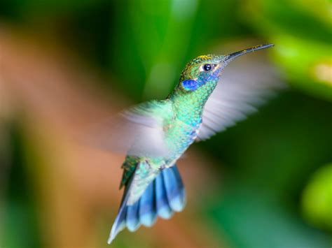 imagenes increibles de colibries resultado de imagen para los colibries mas hermosos del