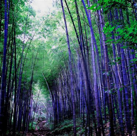 rare purple bamboo seeds decorative garden lucky bamboo garden plants seeds 60pcs in bonsai from