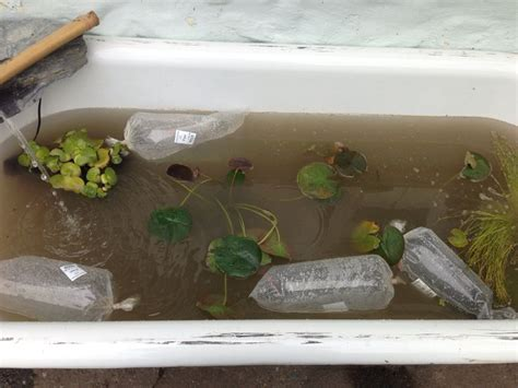 fish in bathtub bath tub fish pond love my up cycling pinterest