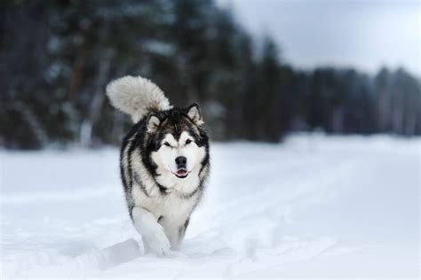 free alaskan malamute puppies alaskan malamute photos wallpapers